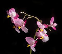 """Begonia """"Freddie"""" Flowers"""