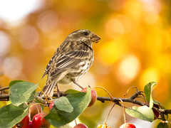 Song Sparrow (Melospiza melodia) (Eduardo Mena U.) Tags: newyork bird centralpark ave birdwatching songsparrow melospizamelodia
