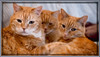 Six Eyes, Six Ears (gtncats) Tags: cats pets portraits framed tabbies soe cuddling ef50mm orangetabbies canon70d felinefaces photographyforrecreation infinitexposure