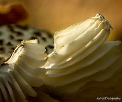 Lamellen (Astrid Photography.) Tags: autumn detail macro nature mushroom netherlands fungus toadstool veluwe softlight hulshorst astridphotography ultimateshot landgoedhulshorst lamellea