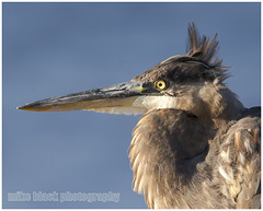 Great Blue Heron (Mike Black photography) Tags: new black bird fall mike animal canon lens is big eagle dam wildlife year birding bald nj maryland aves shore jersey usm 2014 800mm conowingo