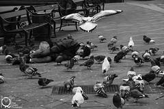 Homeless man,Copenhagen December 2011 (Mark Quigley - www.markquigley.ie) Tags: christmas street blackandwhite food man birds copenhagen denmark photography photo europe pigeons gulls homeless capital asleep shelter footpath broke hardtimes 2011 canon5dmk2