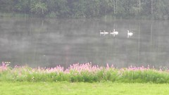 Swans on a foggy lake (Rytkyntie, Kiuruvesi, 20140730) (RainoL) Tags: summer mist lake bird birds finland july ps swans fin 2014 cygnus kiuruvesi rytky pohjoissavo 201407 20140730