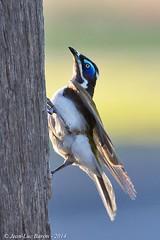 Blue-faced Honeyeater (Entomyzon cyanotis) (Jeluba) Tags: 2014 australia australie blauohrhonigfresser bluefacedhoneyeater entomyzoncyanotis méliphageàoreillonsbleus oiseau bird aves nature wildlife birdwatching ornithology canon vertical jeluba jeanlucbaron