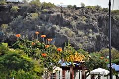 Flowers (Ed.ward) Tags: flowers cliff holiday spain promenade tenerife canaryislands 2014 playasanjuan nikond700 nikonafzoomnikkor80200mmf28ed