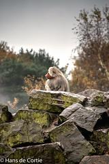 Mantelbaviaan (Hans de Cortie) Tags: zoo nederland natuur safaripark beeksebergen noordbrabant dierentuin hilvarenbeek mantelbaviaan dierentuindieren