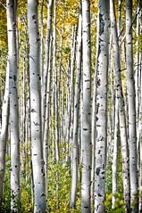 DSC_9831 (peeplesuc) Tags: trees fall bells forest nikon colorado maroon aspen d90
