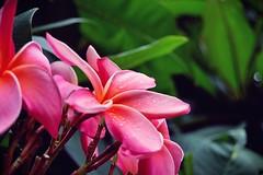 2009-01-14be Pink Flowers ([Ananabanana]) Tags: africa pink flowers plants plant flower gardens garden southafrica botanical nikon african gimp 1855mm 1855 nikkor durban kwazulunatal d40 nikonistas nikon1855mm nikonista photoscape nikon1855mmkitlens nikkorafsdx1855mm nikonafsdx1855mm