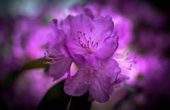 the butterworths (Isaiah62:1) Tags: flowers nikon bokeh naturallight rhododendron vignetting d5200 floraaroundtheworld flowerslightandshadows