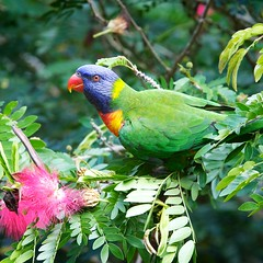 Lorikeet (Deb Jones1) Tags: bird birds fauna wildlife parrot australia lorikeets australianbirds