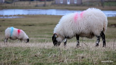 2015 Year Of The Sheep (mootzie) Tags: black face sheep painted horns lewis curly croft loch wooly ness marked