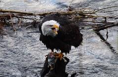 American Bald Eagle (andy_66725) Tags: seattle usa bird washington state eagle flight bald american prey