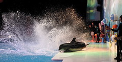 DOLPHIN SHOW (sol soab) Tags: flowers people sunlight building beach water coffee breakfast bar night landscape island lights restaurant sand dubai chairs stage paintings tent palm swimmingpool veranda master abudhabi jungle midnight falcon filipina poolside performer unitedarabemirates omelette parachute coconuttrees rasalkhaimah emiratespalace birdshow dancingfountain gulfair beachumbrella dolphinshow acrobatshow funride creekpark christmasandnewyear roominterior worldtallestbuilding bluegreenpurple 1dmarkiv addresshotel solsoab etihadtowers cbmiranda burjkhalifa boracayclub newyear2015 alhamrapalacehotel asianshotel goldenmosquechef