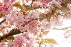 Blossoms (Denise @ New Mercies I See) Tags: pink flowers ohio nature outdoors spring blossoms april summitcounty 2016 mogadore onethousandgifts