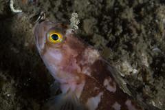 Hornkvabbe (Linn Rkenes) Tags: fisk dykking undervannsbilder kjerringvik hornkvabbe kjerringfjord