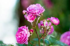 _DSC9266.jpg (Riccardo Q.) Tags: macro fiori fiore altreparolechiave floreka