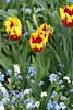 Tulpen und Vergissmeinnicht / tulips and forgetmenots (tulipa & myosotis) (HEN-Magonza) Tags: nature germany deutschland flora natur forgetmenot mainz springtime tulipa frühling tulpe rheinlandpfalz myosotis rhinelandpalatinate verissmeinnicht botanischergartenmainz mainzbotanicalgardens