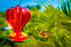 A cinnamon hummingbird about to feed.