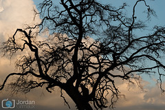 Shadow (grimaux.jordan) Tags: africa sunset shadow wild sky tree animal clouds feline branch kenya dusk leopard find panthera pardus