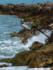 Splash (Emily Kistler) Tags: ocean park blue bird beach nature water animal landscape outdoors sand nikon rocks gulf florida pelican d750 splash brownpelican countypark sandkey sandkeypark
