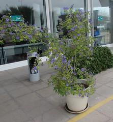 Maceta de Lycianthes  Ratonellii (patriciamura) Tags: flores planta flora botanica lilas florido arbusto licianthes