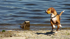 A playful dog! (Itsnotme!) Tags: dog pet playing cute beach animal river puppy toy jumping waves main bank lovely playful frivolous