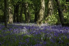 Bluebells, Sherdley Park, St Helens, Merseyside, UK (ianbonnell) Tags: floral bluebells landscape lancashire sthelens merseyside northwestengland sherdleypark