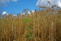 A7RM2 (Hemo Kerem) Tags: blue sky green 35mm canon israel telaviv wheat sony exploring mf alpha manualfocus tlv fd modiin canonfd canonfd35mmf28 a7rii sonya7rm2 a7rm2 ilce7rm2
