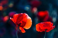 Spring Duet (NathalieSt) Tags: flowers flower fleur fleurs poppy poppies coquelicot coquelicots 003nature pavotpoppy