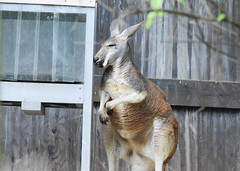 Columbus Zoo (5/25/16) (U. N.) Tags: wild animals outside outdoors zoo penguin wolf lion camel giraffe
