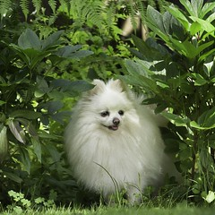 Molly hiding in the border (mariannedeselle) Tags: molly dog pomeranian pom spitz gardendog whitedog littledog canine