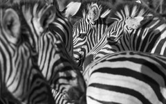 Looking Through The Lines (philnewton928) Tags: africa wild blackandwhite bw nature monochrome animal southafrica mammal outdoors nikon dof natural outdoor stripes wildlife safari zebra herd animalplanet krugernationalpark kruger zebras burchellszebra parfuri equusquaggaburchellii d7200 nikond7200