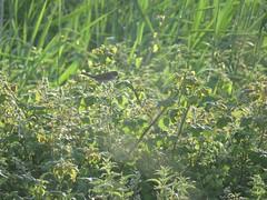 Whitethroat in golden light (nina1688) Tags: summer colour bird nature beautiful birds suffolk wildlife lovebirds lovely felixstowe goldenlight birdinabush whitethroat wildbird felixstoweferry