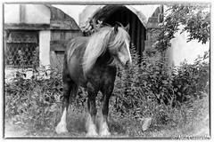 Horsing Around 161/366 (crezzy1976) Tags: uk england blackandwhite bw horse monochrome animal nikon cheshire outdoor photoaday 365 stable day161 horsingaround photoborder d3100 crezzy1976 photographybyneilcresswell 366challenge2016