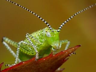 Punktierte Zartschrecke (Leptophyes punctatissima) - Jungtier