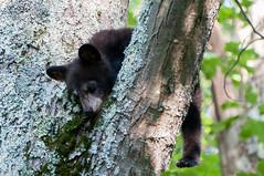 _DSC3640-2 (KewliePhotos) Tags: bear virginia nationalpark wildlife bears shenandoah shenandoahvalley blackbear blackbears shenandoahnationalpark
