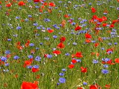 Mohn- und Kornblumenfeld (Manuela Vierke) Tags: blue red summer plant flower rot field juni germany deutschland sommer natur pflanze feld felder blumen insel blau blume rgen landschaft isle kornblume mecklenburgvorpommern mohn 2016 mohnblume meckpomm altreddewitz