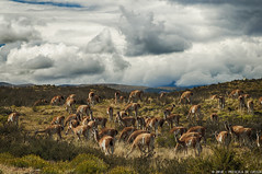 Guanacos (Priscila de Cssia) Tags: chile wild patagonia naturaleza nature landscape nikon colorful wildlife natureza torresdelpaine wilderness hdr torresdelpainenationalpark nikond90