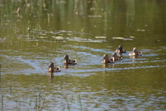 Vista al frente, ¡ar! (esta_ahi) Tags: barcelona españa joaquim fauna spain aves patos baixllobregat elpratdellobregat anatidae acuáticas deltadelllobregat ànecs испания