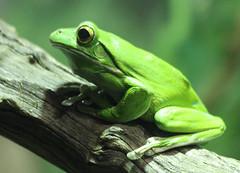 Green Tree Frog (iansand) Tags: zoo tarongazoo greentreefrog
