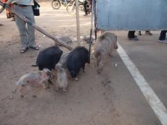 LJ187618 (jmputz) Tags: cochon pushkar