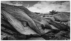Log Detail - Olmsted Point, Yosemite (Otis335) Tags: detail tree landscape bark yosemite olmstedpoint tiogaroad