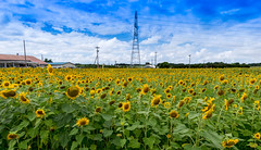 Sunflower-7 (savanna.chance) Tags: pentaxart sigma1020mmf35exdchsm pentaxk3