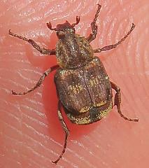 Flower Chafer, Valgus canaliculatus (Seth Ausubel) Tags: coleoptera scarabaeidae