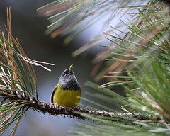 McGillivray's warbler, Geothlypis tolmiei (jlcummins - Washington State) Tags: bird nature washingtonstate yakimacounty bethelridge