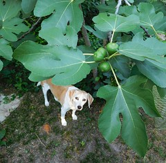Rosie, those figs are not ripe. (Just Back) Tags: dog tree sc beagle face leaves fruit eyes fig hound columbia foliage southern ficus carolina paws shrub appetite moraceae