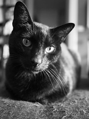 In ascolto... (pecorwood) Tags: cat blackcat gatto gattonero biancoenero blackandwhite monochrome monocromo