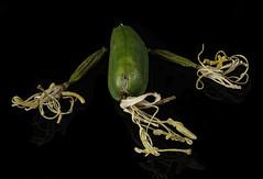 Dried Agave Blooms (Bill Gracey) Tags: flowers cactus nature blackbackground dry agave dried blooms naturalbeauty softbox perspex driedflowers offcameraflash lastoliteezbox yongnuorf603n yn560iii