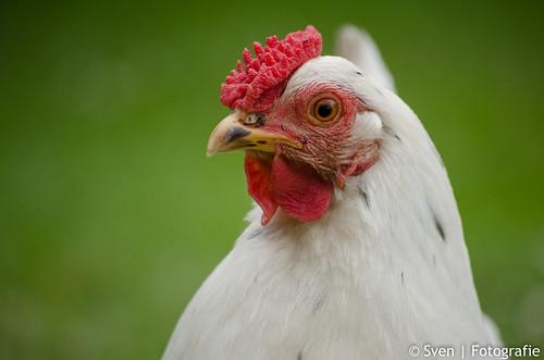Chicken @ Mole Creek