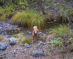 Hiking With Smelly Wet Dog (Ellen Soohoo) Tags: california dog fall wet golden hiking buddy retriever tamron tamron2875mmf28 tamronspaf2875mmf28xrdildasphericalif 5dmarkiii